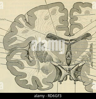 ". Cunningham's Text-book of anatomy. Anatomy. 640 THE NEEVOUS SYSTEM. Chorioid plexus Lateral ventricle Claustrum Fasciculus mamillothalamicus Putanien Insula Globus pallidus Column of fornix Amygdaloid nucleus. Longitudinal fissure Corpus callosum Fornix Caudate nucleus Vena terminalis Tela chorioidea ventrieuli tertii â Thalamus â Third ventricle â Chorioid plexus Internal capsule Interventricular foramen ^""-""""Column of fornix Anterior commissure Optic tract Infundibulum â Optic chiasma Optic nerve Substantia perforata anterior Olfactory peduncle Fig 569.âFrontal Section throu - Stock Photo"