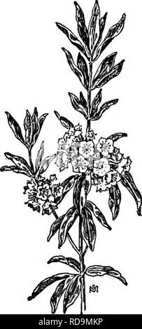 . A manual of weeds : with descriptions of all the most pernicious and troublesome plants in the United States and Canada, their habits of growth and distribution, with methods of control . Weeds. ERICACEAE (HEATH FAMILY) 309 Much loss is credited to this poisonous little plant when flocks are turned out to pasture in the spring. It does most damage when small, for animals are most likely to eat it when the shoots are young and tender and but a few inches above the ground. Children also have been poisoned by mistaking its first little pinkish leaves for young wintergreens {GavMMria procumbens) - Stock Photo