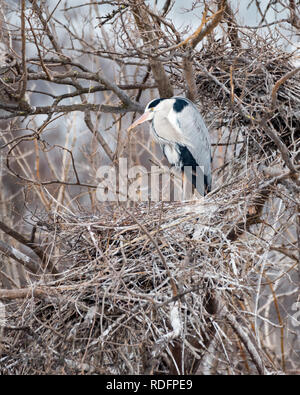 A single grey heron (Ardea cinerea) bird sitting in a tree (Vienna, Austria) in winter - Stock Photo