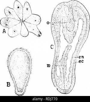 . A manual of zoology. Zoology. 230 CCELKNTERATA Order I. Tetracoralla (Rugosa). Exlinct f(irms frcim the palco/oic rocks willi llic parls arranged in fours (hg. 196, I). The present lemleney is to regard them as modilied llexacoralhi. Order II. Octocoralla (Alcyonaria). These forms, whicli Iiaxe eiglit single septa, are reeogni/.able by their eight featliered tentacles (lig. 107). They occur in all si-is fnmi near (he shore to great depths. In development there is a plannla (fig. joi) in which the cy.sophagiis arises as a solid ingrowth which becomes perforated later. The eiglit septa arise s - Stock Photo