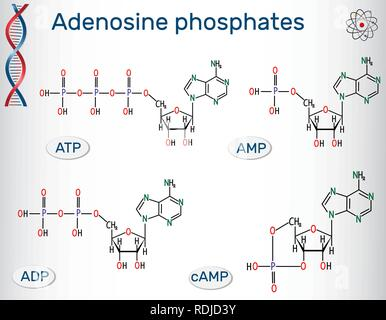 Chemical structural formulas Adenosine phosphates nucleotides  : adenosine monophosphate (AMP), adenosine diphosphate (ADP) , adenosine triphosphate ( - Stock Photo
