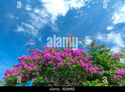 Bougainvillea tree colorful purple blooms under the bright morning sun. - Stock Photo