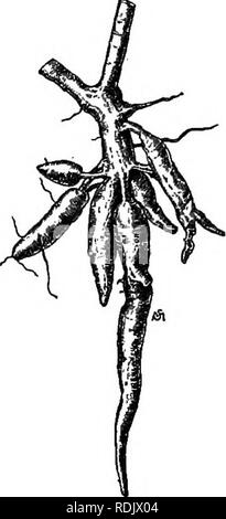 . Essentials of botany. Botany; Botany. Fig. 229. A Twig and Cluster of Roots of Cassava. (Mucli reduced.) soon removed by heating or merely drying the ground roots, which form an extremely valuable food for horses, cattle, and hogs. Arrowroot is a highly digestible kind of starch obtained from the rootstocks of several kinds of tropical plants of the Arrowroot family {Marantacece) and other families. Sugar is manufactured from the juice of the sugar-cane (Fig. 230), a grass growing to the height of ten feet or more, cultivated in Louisiana, the West Indies, Java, and. Please note that these i - Stock Photo