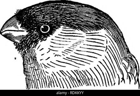 . A manual of zoology for the use of students : with a general introduction on the principles of zoology . Zoology. 498 MANUAL OF ZOOLOGY.. Fie.' 196.—Head of the common Bullfinch yPyrrlvula vulgaris)^ showing the Coni- rostral beak. the hinder toe being usually longer than the rest. They are almost all monogamous, and they build more or less elaborate nests. In this family are the true Finches (i^z>«^7/a)j the Sparrows {Pyr'gita), the Lin- nets and Goldfinches {Car- «'^i?/2j), the Wfiydah Finches ( Vidua), the Grosbeaks {Coc- cothraustes), the Bullfinches (Pyrrhuia), and many others, but t - Stock Photo