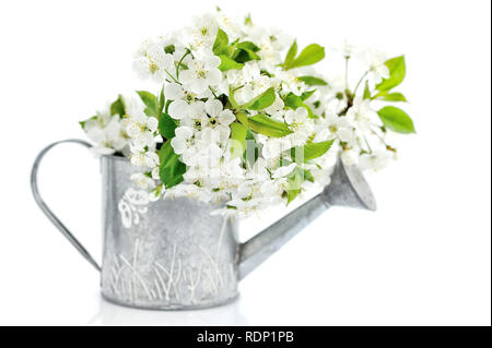 Watering can with cherry flowers on a white background - Stock Photo