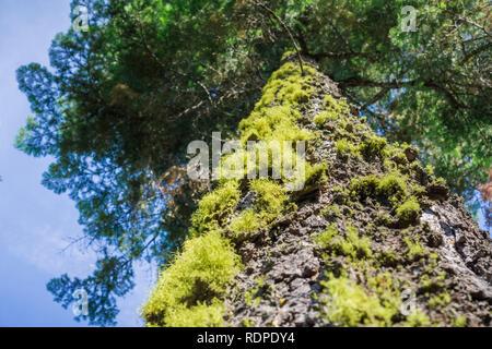 Moss covered evergreen tree, Calaveras Big Trees State Park, California - Stock Photo