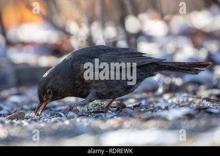 Berlin, Germany. 18th Jan, 2019. A female Common Blackbird (Turdus merula) searched for food on the ground at Tiergarten park, in Berlin, Germany, January 18, 2018. Credit: Omer Messinger/ZUMA Wire/Alamy Live News - Stock Photo