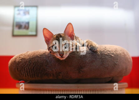Berlin, Germany. 18th Jan, 2019. A cat is seen at the International Green Week (IGW) Berlin in Berlin, capital of Germany, on Jan. 18, 2019. The IGW Berlin, an international exhibition of the food, agriculture and gardening industries, opened on Friday and will last until Jan. 27, attracting more than 1,700 exhibitors from all over the world. Credit: Shan Yuqi/Xinhua/Alamy Live News - Stock Photo
