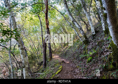 Hiking trail lined up with Bay Laurel trees (Californica Umbellularia), Uvas Canyon County Park, Santa Clara county, California - Stock Photo