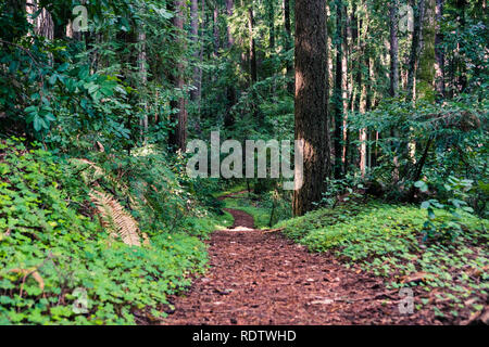 Hiking trail lined up with redwood sorrel through the forests of Henry Cowell State Park, Santa Cruz mountains, San Francisco bay area, California - Stock Photo