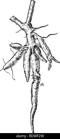 . Essentials of botany. Botany; Botany. Tig. 229. A Twig and Cluster of Roots of Cassava. (Muoli reduced.) soon removed by heating or merely drying the ground roots, which form an extremely valuable food for horses, cattle, and hogs. Arrowroot is a highly digestible kind of starch obtained from the rootstocks of several kinds of tropical plants of the Arrowroot family [Marantacca) and other families. Sugar is manufactured from the juice of the sugar-cane (Fig. 230), a grass growing to the height of ten feet or more, cultivated in Louisiana, the West Indies, Java, and. Please note that these im - Stock Photo
