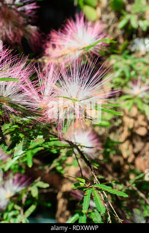 Fairy duster (Calliandra selloi). Sao Paulo, Brazil - Stock Photo