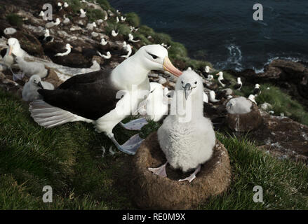 Close up of a Black-browed Albatross with a chick sitting in the nest, Falkland islands. - Stock Photo