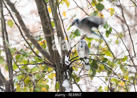 Closeup of two blue jay Cyanocitta cristata birds perched flying on tree branch in Virginia with wings motion and snow green leaves foliage - Stock Photo