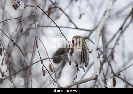 Common Redpoll - Acanthis flammea - bird  sitting in a birch in Winter. - Stock Photo