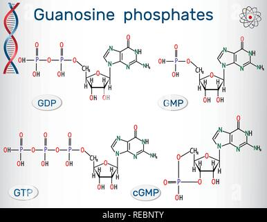 Guanosine phosphates (guanosine triphosphate, guanosine diphosphate, guanosine monophosphate, cyclic guanosine monophosphate). Structural chemical for - Stock Photo