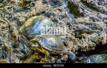 red eared slider and yellow bellied slider together in closeup, tropical reptile pets from America - Stock Photo