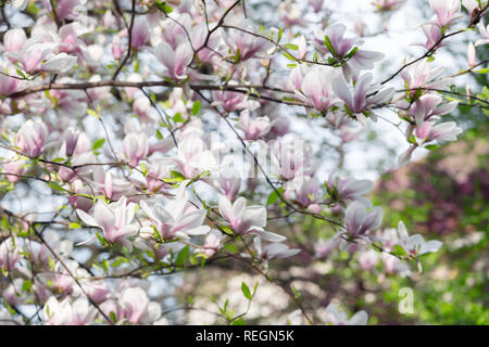 Pink magnolia flowers on spring twigs. Springtime nature background - Stock Photo