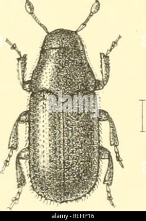 . The Coleoptera of the British islands. A descriptive account of the families, genera, and species indigenous to Great Britain and Ireland, with notes as to localities, habitats, etc. Beetles; Entomology. . Please note that these images are extracted from scanned page images that may have been digitally enhanced for readability - coloration and appearance of these illustrations may not perfectly resemble the original work.. Fowler, William Weekes, 1849-; Donisthorpe, Horace St. John Kelly. London : L. Reeve & co. - Stock Photo