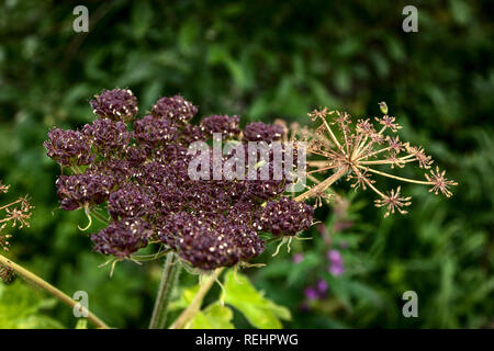 A showy seed head of a late summer cow parsnip plant. Hatchers Pass, Alaska - Stock Photo