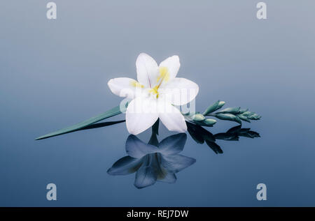 White freesia and buds reflected in blue plain background - Stock Photo