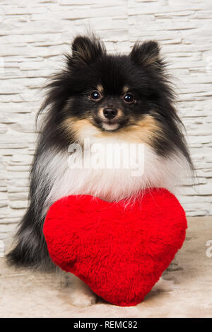 Pomeranian Spitz dog puppy with red heart - Stock Photo