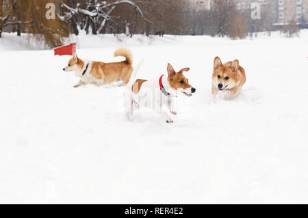 Three dogs playing in canine friendly off leash park - Stock Photo