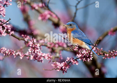 01377-16913 Eastern Bluebird (Sialia sialis) male in Eastern Redbud (Cercis canadensis) in spring, Marion Co., IL - Stock Photo
