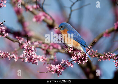 01377-16915 Eastern Bluebird (Sialia sialis) male in Eastern Redbud (Cercis canadensis) in spring, Marion Co., IL - Stock Photo