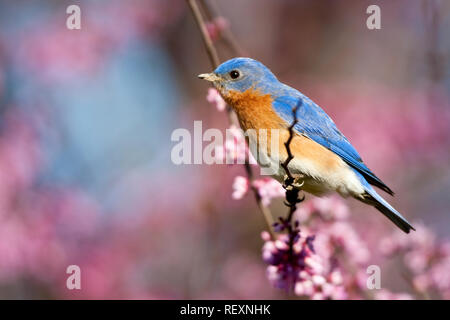 01377-16918 Eastern Bluebird (Sialia sialis) male in Eastern Redbud (Cercis canadensis) in spring, Marion Co., IL - Stock Photo
