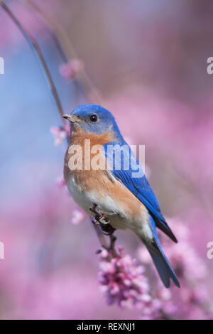 01377-17011 Eastern Bluebird (Sialia sialis) male in Eastern Redbud (Cercis canadensis) in spring, Marion Co., IL - Stock Photo