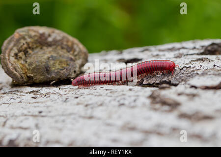 Millipedes like this Centrobolus fulgidus, are important decomposers in forest and woodland ecosystems. - Stock Photo