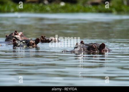 A group or pod of East African hippopotamus (Hippopotamus amphibius) or hippos partially submerged in water, Lake Naivasha, Kenya - Stock Photo