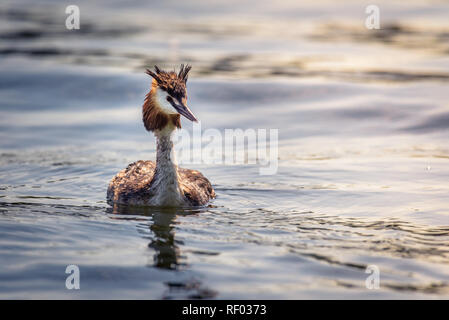 A great crested grebe (podiceps cristatus) is swimming on the water surface, looking interested and still wet from the last dive. - Stock Photo