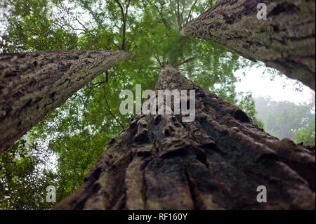 Giant Redwoods,  Sequoiadendron gaganteum, like these in Redwood Forest National Park, California, United States, are the tallest trees on the planet - Stock Photo
