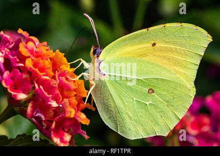 Detailed Side View of a Brimstone Butterfly (Gonepteryx rhamni) Feeding on a Bright Garden Flowers on a Warm Summer Day. Baia Sardinia, Sardinia. - Stock Photo