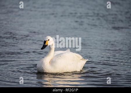 Bewick's Swan (Cygnus columbianus) swimming towards camera - Stock Photo