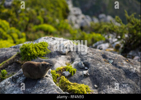 Rock hyrax, Procavia capensis, also known as dassies, thrive in the urban park of Table Mountain National Park, Western Cape Province, South Africa. - Stock Photo