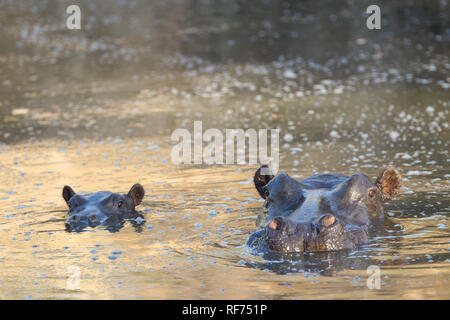 Mother hippopotamus, Hippopotamus amphibius, are very protective of their calves and will keep threats at a distance, Kafue National Park, Zambia. - Stock Photo
