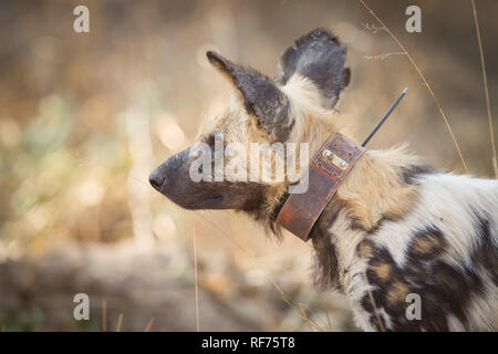 A tracking collar is used by scientists to monitor the movements of African Wild Dog, Lycoan Pictus, in Hwange National Park, Matabeleland, Zimbabwe. - Stock Photo