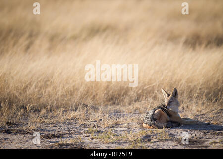 Black-backed jackal, Canis mesomelas, are commonly seen scavengers in the savanna plains of Hwange National Park, Matabeleland North, Zimbabwe - Stock Photo