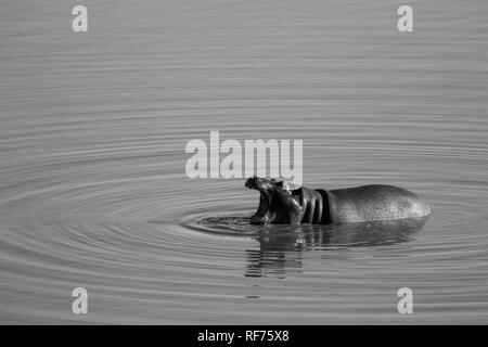 Young hippos are quite playful like this common hippopotamus, Hippopotamus amphibius, creating rings in a dam in  Hwange National Park, Zimbabwe - Stock Photo