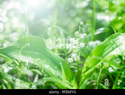 Morning in spring forest. lilies of the valley close-up in bright sunlight - Stock Photo