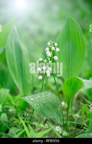 Morning in spring forest. Two lilies of the valley close-up in bright sunlight - Stock Photo