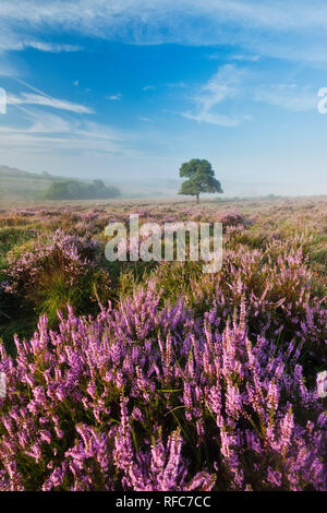View over New Forest lowland heathland at Mogshade Hill at dawn, New Forest National Park, Hampshire, England, UK - Stock Photo