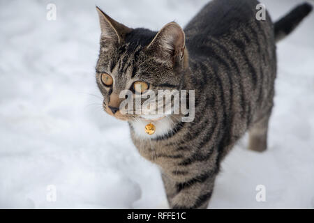 Tier cat in the snow, bread west European short hair - Stock Photo
