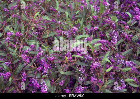 Purple Millettia vines offer brilliant purple flowers. - Stock Photo