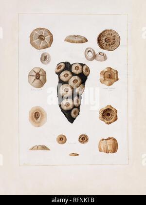 Franois Jean-Baptiste Mnard de la Groye (Le Mans 1775 - 1827 Saint-Samson) Shells, c.1807-26 10.jpg - RFNKTB - Stock Photo