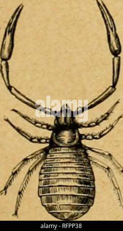 . Cassell's natural history. Animals; Animal behavior. PHRVNUS RENIFOKMIS. occupied by tlie dorsal plate of the ceph;dothoi'ax, and this has eight ocelli, of which two, as in the Scorpions, are placed close to the middle line. The falces consist of two joints, with an ajMoal claw ; the true maxillary palpi are large and stout, and terminate either in a simple claw or in an imperfect pincei', in which the movable linger is considerably shorter than the other ; while the second palpi, or first pair of legs, are long and slendei-, and terminated by a finely annulated tarsus. The three pairs of tr - Stock Photo