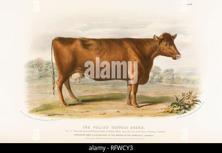 David Low, Suffolk Breed Cow.jpg - RFWCY3 - Stock Photo